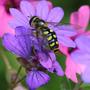 Hoverfly on Geranium pyrenaicum 'Bill Wallis' (Geranium pyrenaicum (Hedge Cranesbill))