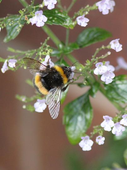 Bumblebee on Calamintha nepeta 'Blue Cloud' (Calamintha nepeta)