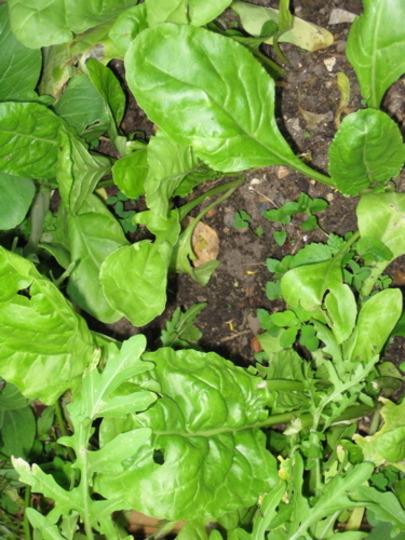 Spinach may 2008