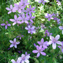 Geranium asphodeloides 'Prince Regent' (Geranium asphodeloides Prince Regent)