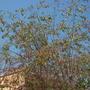 Nicotiana glauca - Tree Tabacco (Nicotiana glauca - Tree Tabacco)