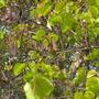 Bauhinia variegata - Orchid Tree
