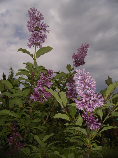 Blooms, Lilac 'royalty'