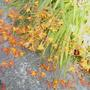 Bild0001_crocosmia_12.9.10_firejumper