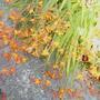 Crocosmia Firejumper (Crocosmia Firejumper)