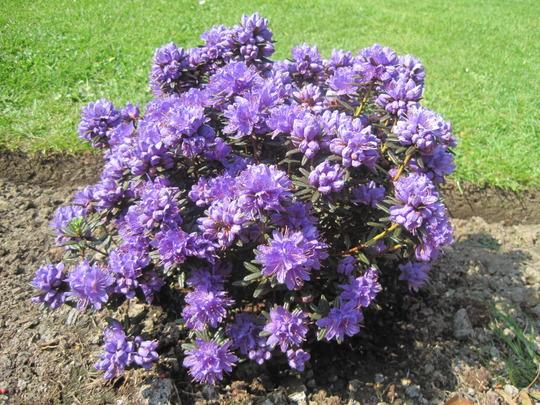 Azalea 'Purple pillow'