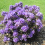 Azalea 'Purple pillow'