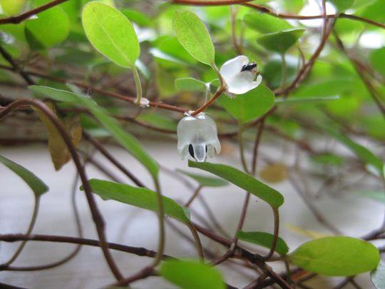Muehlenbeckia Axillaris 1 (Muehlenbeckia Axillaris)