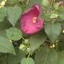 Hibiscus  (Hibiscus moscheutos)