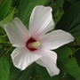 Thanks to Mikec...the first of a whole raft of hibiscus blossom!