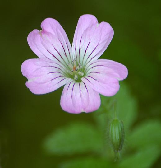 Geranium gracile (Geranium gracile)