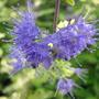 Golden Bluebeard flowers (Caryopteris incana 'Jason')
