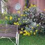 Sunflowers rioting in the garden