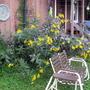 Back of the house area (Helianthus tuberosus)