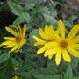 Sunflowers (Helianthus tuberosus)