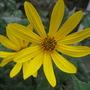 Jerusalem Artichoke flower (Helianthus tuberosus)