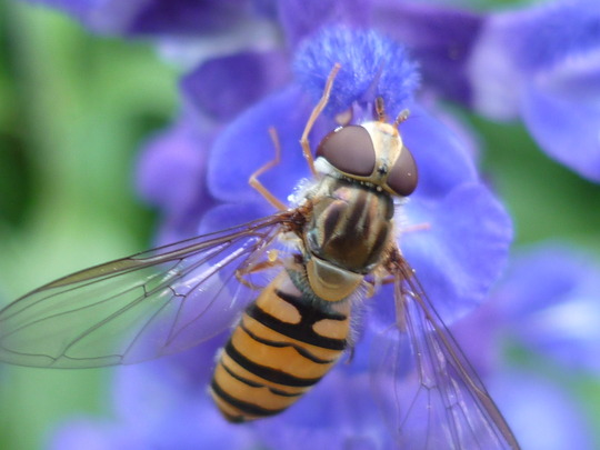 Hoverfly on blue sage II (salvia patens)