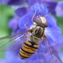 Hoverfly on blue sage II (salvia patens)