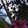 0550_sambucus_nigra_japanese_anemone_16_sep_11