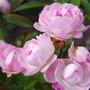 Rose Pearl Anniversary
