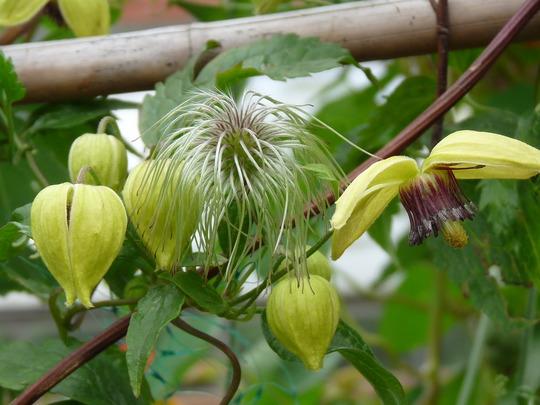 Clematis chiisanensis Korean Beauty (Clematis chiisanensis)