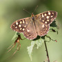 Speckled Wood butterfly on Nettle.