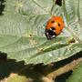 Seven Spot Ladybird on Bramble