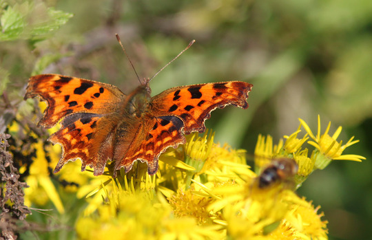 Comma on Ragwort(?)