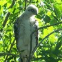 baby cooper's hawk; born in nest in our eucalyptus tree