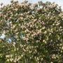 Calodendron capense - Cape Chestnut Tree Flowering (Calodendron capense - Cape Chestnut Tree)