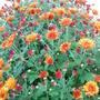 OH... Chrysanthemum...