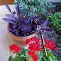 Tradescantia Pallida Purpurea and Pelargonium