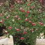 My Salvia Hotlips