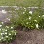 Solanum_lantana