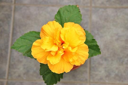 My Cairo Yellow Hibiscus (malvaceae)