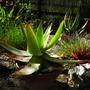 Aloe_striata_hybrid