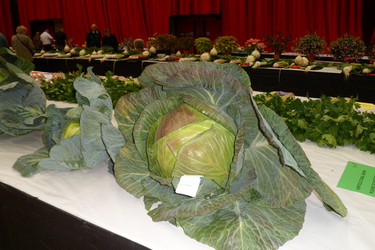 giant cabbage sunderland horticulture show