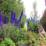 Display Garden for Delphiniums