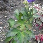 Aconitum_carmichaelii_river_dee_2011