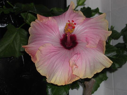 Hibiscus Aunt Marge No. 2