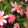 Pink Coreopsis