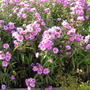 Light pink/lilac Asters