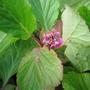Bergenia (flowering again)