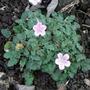 Erodium (Erodium reichardii)