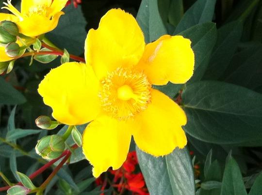 Rose of Sharron (Hypericum Calycinum)