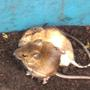 Wood mice 20 9 2011