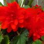 RED Begonia!