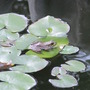 Little frog perched on a lilly pad!