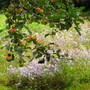 apples ripening on the tree...asters in bloom behind.