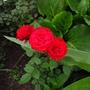 Kordana Roses...minis